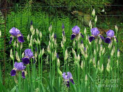 Irises Along The Fence Art Print