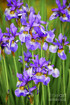 Violet Bloom Photograph - Irises by Elena Elisseeva