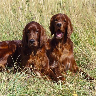Irish Red Setter Dogs Art Print