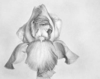 Photograph - Iris Sketch by David and Carol Kelly