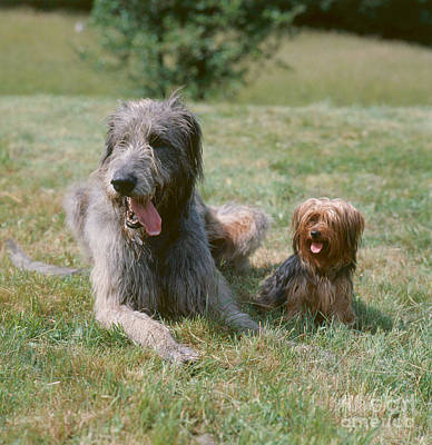 Irish Wolfhound Photograph - Irish Wolfhound And Terrier by Hans Reinhard
