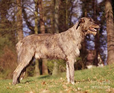 Irish Wolfhound Photograph - Irish Wolfhound Dog by Jean-Paul Ferrero