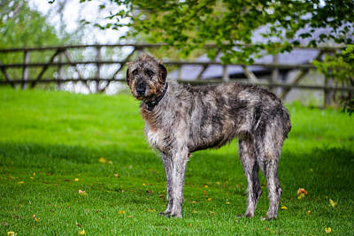 Photograph - Irish Wolfhound by Marilyn Burton
