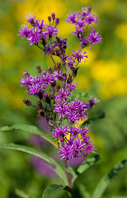 Photograph - Ironweed by Melinda Fawver