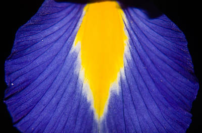 Photograph - Irresistible Iris by Cara Moulds