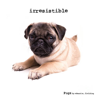 Photograph - Irresistible Pug Puppy by Edward Fielding