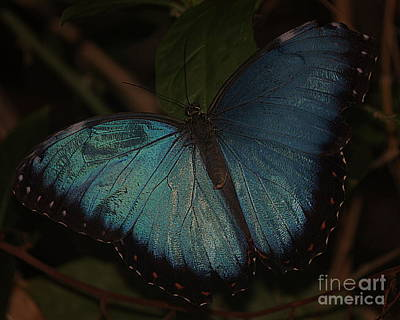 Photograph - Irridescent Blue Morpho Butterfly by Bill Woodstock