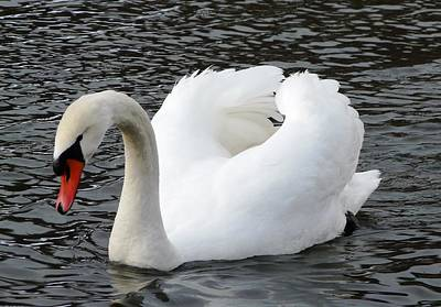 Photograph - Isar Swan by Valerie Ornstein