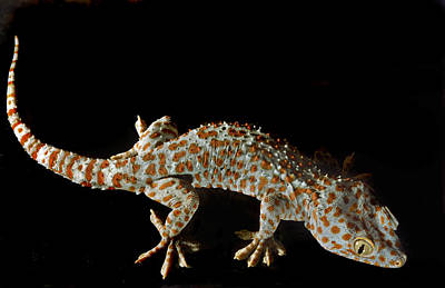 Photograph - Isis. Tokay Gecko. by Chris  Kusik