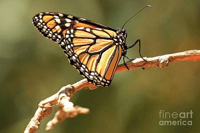 Photograph - Island Butterfly by Adam Jewell