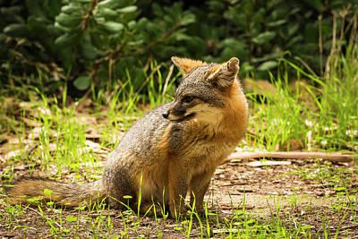 Santa Cruz Island Photograph - Island Fox (urocyon Littoralis by Russ Bishop