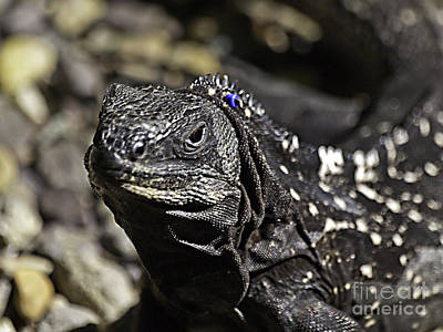 Photograph - Island Lizards One by Ken Frischkorn