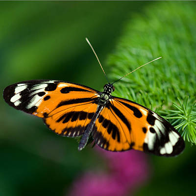 Photograph - Ismenius Butterfly by Joann Vitali