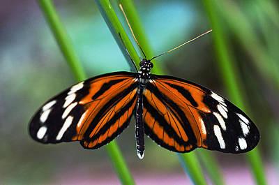 Ismenius Tiger Butterfly Art Print by Cheryl Cencich