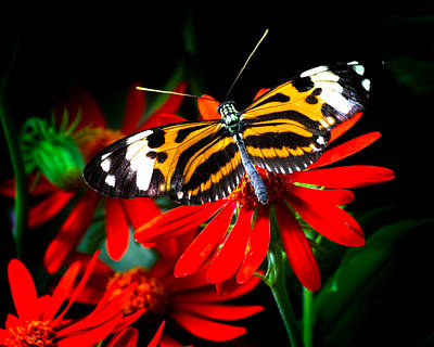Red And Black Butterfly Photograph - Ismenius Tiger Butterfly by Mark Andrew Thomas