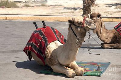 Camel Photograph - Israel Dead Sea Camels by   Avi Horovitz