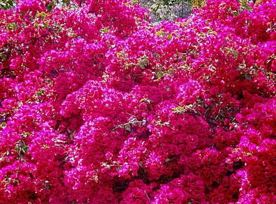 Israel's Pink Bouganvillae Glabra Original by Sandra Pena de Ortiz