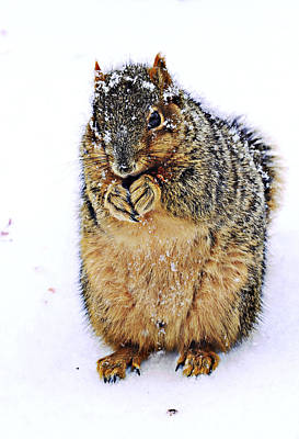 Fox Squirrel Photograph - It Is Really Cold by Marcia Colelli