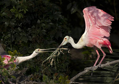 Spoonbill Photograph - It Takes Two To Build A Nest by Cathy Laurenzi