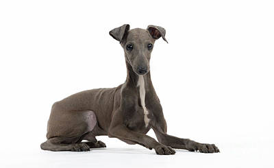 Italian Greyhound Photograph - Italian Greyhound by Jean-Michel Labat