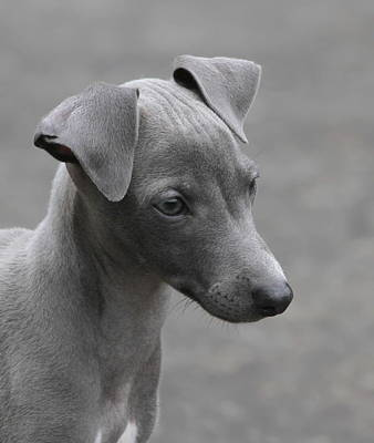 Photograph - Italian Greyhound Puppy by Angie Vogel
