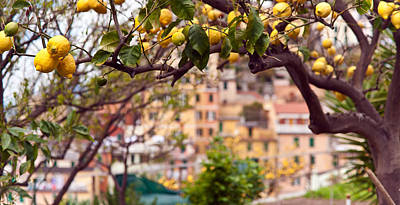 Photograph - Italian Lemon Grove by Mike Reid