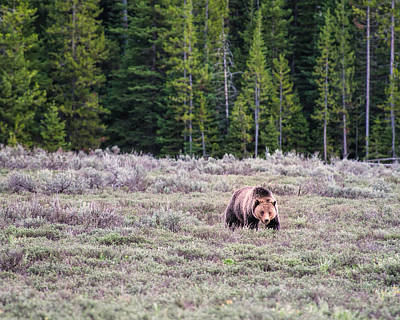 Photograph - It's A Grizzly Bear by Joan Herwig