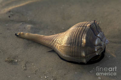 Photograph - It's Alive - Lightning Whelk by Meg Rousher