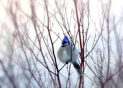 Bluejay Photograph - It's Cold Outside by Karen Cook