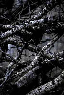 Birch Bark Photograph - It's Complicated by Odd Jeppesen
