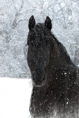 Black Friesian Photograph - It's Friesian Out Here by Fran J Scott