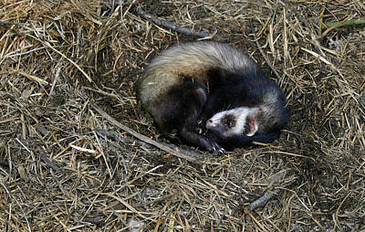 Black-footed Ferret Photograph - Its Naptime by Nina Fosdick