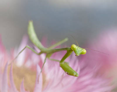 Mantid Photograph - It's Not Easy Being Green by David and Carol Kelly