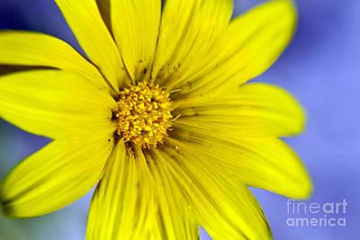 Bitsy Photograph - Itsy Bitsy Yellow Desert Flower by Bryan Freeman
