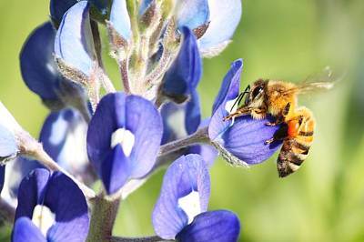 I've Got A Bee In My Bluebonnet Art Print by Lorri Crossno
