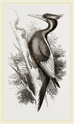 Woodpecker Drawing - Ivory-billed Woodpecker by Litz Collection