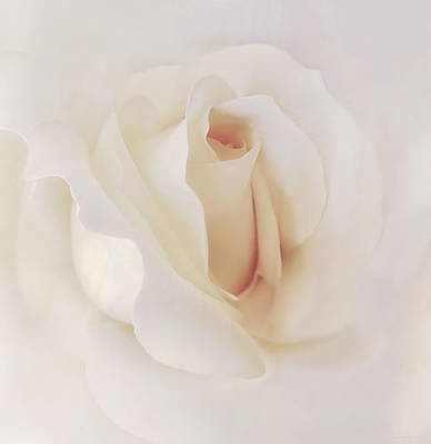 Photograph - Ivory Rose Splendor Flower by Jennie Marie Schell