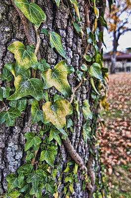 Photograph - Ivy by Barry Cole