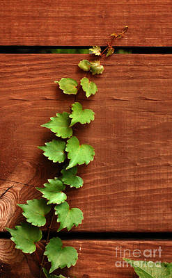 Wall Art - Photograph - Ivy Climbing Wooden Slats by Susan Montgomery