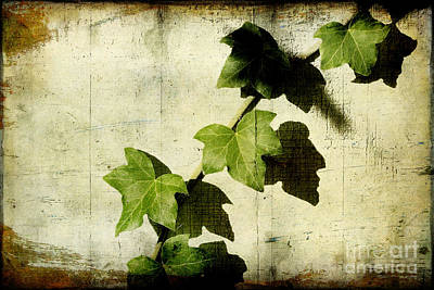 Photograph - Ivy by Ellen Cotton