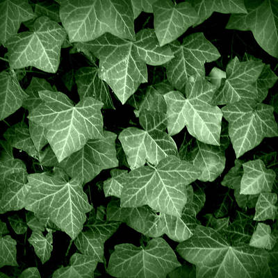 Photograph - Ivy by Joseph Skompski
