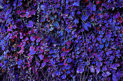 Photograph - IVY by Julian Cook