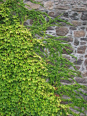 Photograph - Ivy On Stone by Ben Freeman