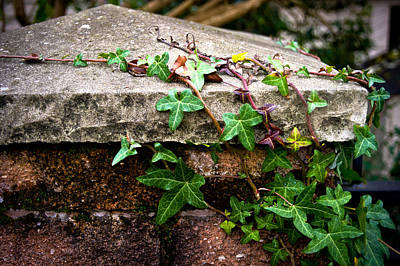 Ivy On Stone Art Print