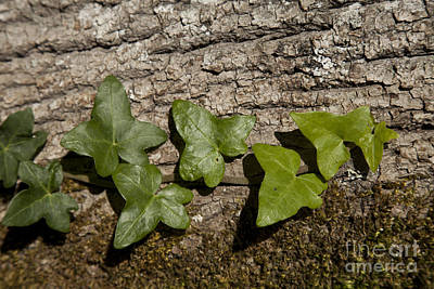Ivy On Tree Print by Graham Foulkes