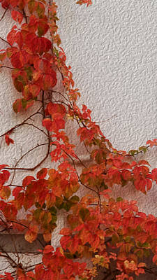 Photograph - Ivy On Wall-november In Tuscany by Michael Flood