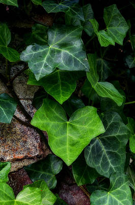 Ivy Over Rocks Art Print