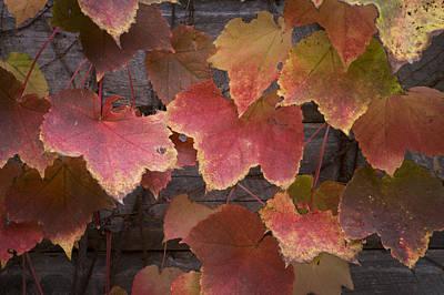 Photograph - Ivy Wall by Wayne Meyer