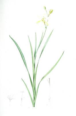 Ixia Anemonae Flora, Sparaxis Bulbifera Ixia Fleur Art Print