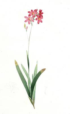 Ixia Phlogiflora, Ixia Scariosa Ixia à Fleurs De Phlox Art Print by Artokoloro